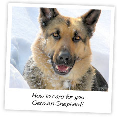 How to care for you  German Shepherd